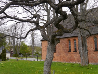 Twisted tree outside St Maria Church C13