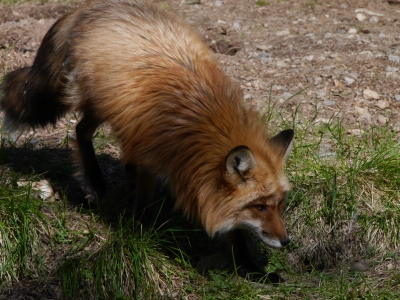 Red fox:  apparently loads in the wild, so the centre refuse to take more