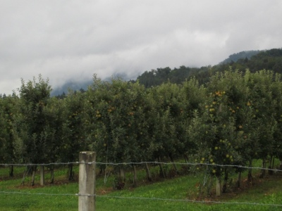 The area we are in seems to be a garden of Slovenia. It is well known for its hop growing; we passed a tall machine harvesting the hops and then been stripped in a barn. However, as well as corn and a few sun flowers, there are LOADS of apple orchards, and numerous varieties.