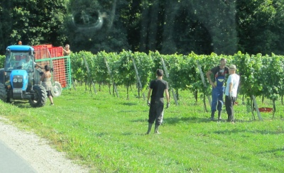 Grape pickers finsihing for the day