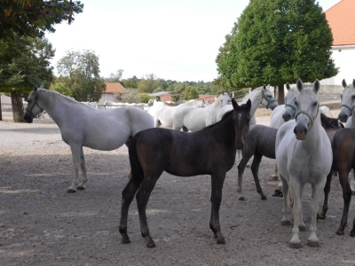 Mares are bred every two years. Foals are all normal horse colours, but 98% turn grey / white by the time they are about 2