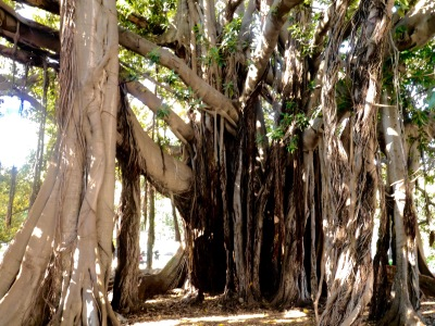 Amazing fig tree roots in the centre of one of the main squares.